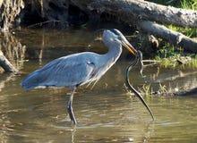 Great Blue Heron - Ardea herodias Stock Photo