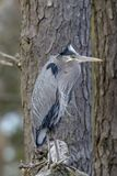 Great blue heron, Ardea herodias, hifding in a tree. stock images