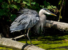 Great Blue Heron - Ardea Herodias Stock Photo