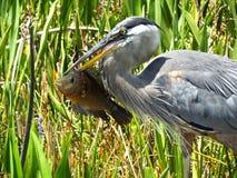 Great Blue Heron Ardea herodias Royalty Free Stock Photography