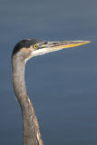 Great Blue Heron, Ardea herodias Stock Images
