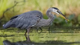 Great Blue Heron eating a green frog royalty free stock images