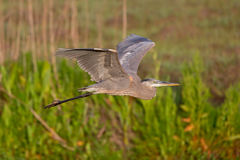 Great Blue Heron Ardea herodias Royalty Free Stock Images