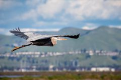 Great Blue Heron Ardea herodias flying over the marshes of south San Francisco bay area, green hills in the background; stock image
