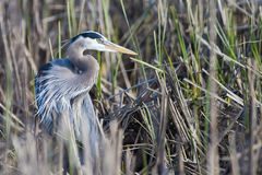 Great Blue Heron (Ardea herodias) Royalty Free Stock Photos