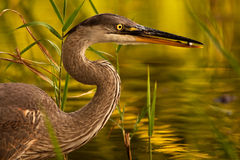 Great blue heron (Ardea herodias) with freshly caught fish Royalty Free Stock Photo
