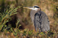 Great Blue Heron, Ardea herodias Royalty Free Stock Image