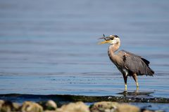 Great blue heron Ardea herodias Stock Images