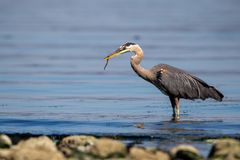 Great blue heron ardea herodias Royalty Free Stock Image