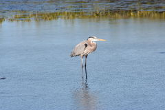 Great Blue Heron Ardea herodias 2 Royalty Free Stock Photo