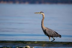 Great blue heron Ardea herodias Stock Image