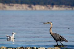 Great blue heron Ardea herodias Stock Photos
