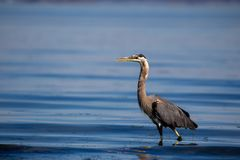 Great blue heron Ardea herodias Stock Photography