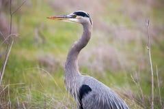 Great Blue Heron - Ardea Herodias headshot in the grasslands Stock Photos