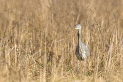 Great blue heron Ardea herodias hunting in a meadow Royalty Free Stock Photos