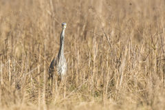 Great blue heron Ardea herodias hunting in a meadow Royalty Free Stock Images