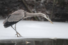 Great Blue Heron (Ardea herodias) Hunting on a Partially Frozen Royalty Free Stock Image