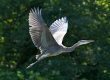 Great Blue Heron - Ardea herodias Stock Photography