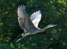 Great Blue Heron - Ardea herodias Stock Photography