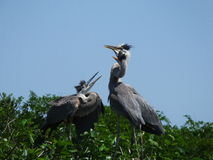 Great Blue Heron (Ardea herodias) Royalty Free Stock Photos