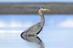 Great Blue Heron, (Ardea herodias) Stock Image