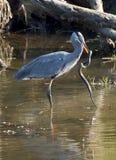 Great Blue Heron - Ardea herodias Royalty Free Stock Photo