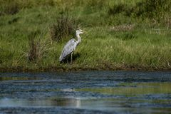 Great Blue Heron or Ardea herodias, looking right. And standing at the edge of blue water against green grass background stock images