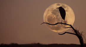 Great blue heron, ardea Herodias. profile and moon Royalty Free Stock Photography