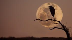 Great blue heron, ardea Herodias. profile and moon Royalty Free Stock Photography