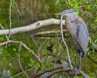 A Great Blue Heron ardea herodias resting on a branch at McGough Nature Park in Largo, Florida USA Stock Photo