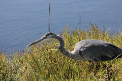 Great Blue Heron Ardea herodias 2 Stock Images