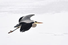 Great blue heron. Ardea herodias in snow and ice stock photography