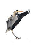 Great blue heron. Ardea herodias in snow and ice Stock Photo