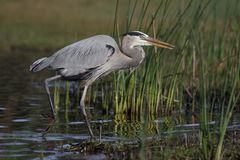 Great Blue Heron stalking its prey - Myakka River State Park, Fl. Great Blue Heron Ardea herodias stalking its prey - Myakka River State Park, Florida Stock Photos