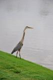 Great Blue Heron (Ardea herodias). Standing on edge of lake Royalty Free Stock Photos