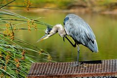Blue Heron Scratching Stock Photo