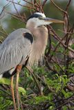 Great Blue Heron (Ardea Herodias) Stock Image