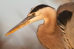 Great Blue Heron (Ardea Herodias) Royalty Free Stock Image