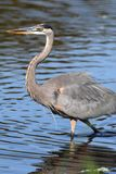 Great Blue Heron (Ardea Herodias) Royalty Free Stock Photography