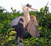Great Blue Heron  (Ardea herodias) Stock Images