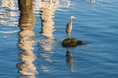 Great blue heron Ardea herodias Royalty Free Stock Photos