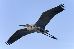 Great blue heron, ardea herodias, venice, florida Stock Images