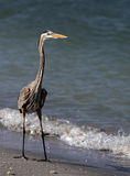 Great Blue Heron (Ardea Herodias) walking on beach Stock Photography