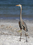 Great Blue Heron (Ardea Herodias) walking on beach Royalty Free Stock Photography