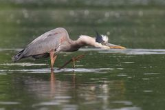 Heron Hunting For Fish royalty free stock image