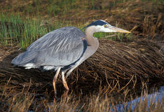 Great Blue Heron (Ardea herodias) watchful. Great Blue Heron (Ardea herodias) ready to strike at a fish Royalty Free Stock Images