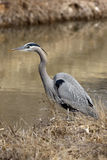 Great-blue heron, Ardea herodias Royalty Free Stock Images