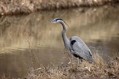 Great-blue heron, Ardea herodias Stock Photos