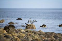 Great Blue Heron (Ardea herodias) Stock Photos