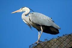 Great blue heron (Ardea herodias). Royalty Free Stock Photos
